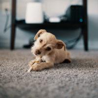puppy_800px
